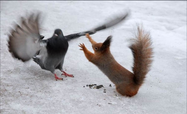 Pigeons and squirrels not getting along.