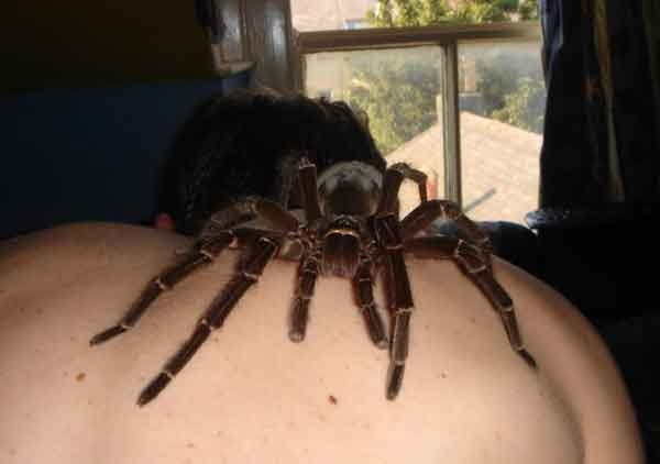 Real man eating spider