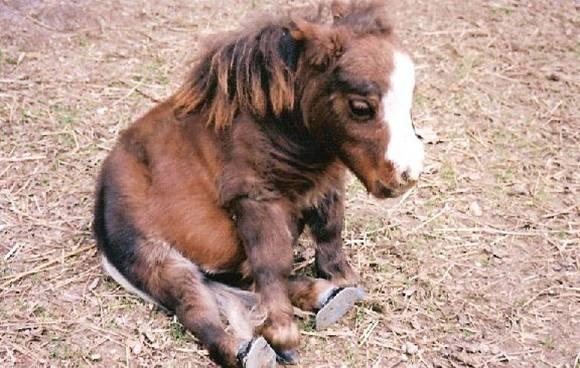 Самая маленькая в мире лошадка - 43 см высотой.