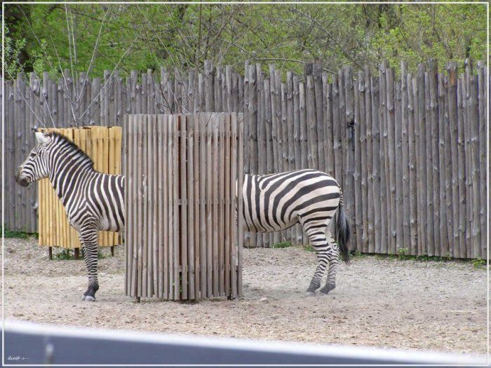 Long Zebra picture
