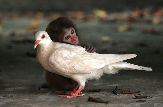 Monkey And Pigeon picture