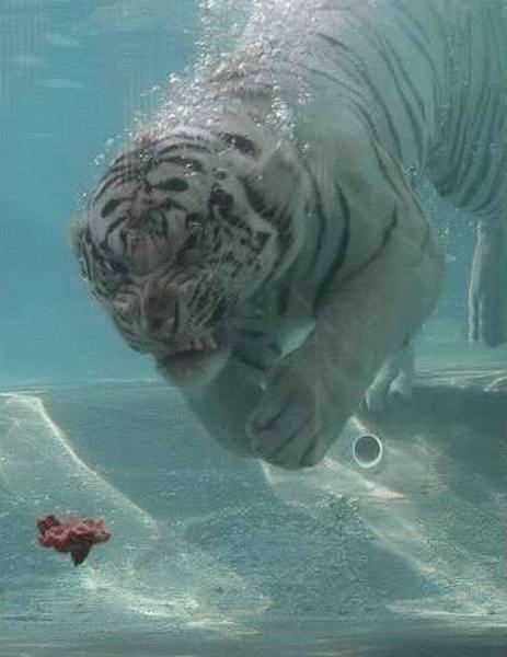 Tiger Feeding picture