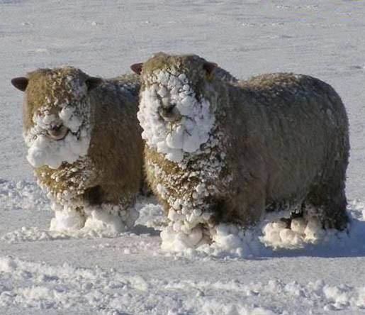 Snowy Sheep picture