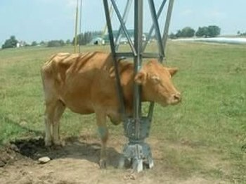 Cow Gets Stuck picture