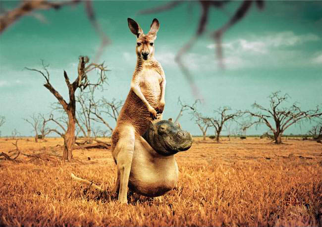 Poor Kangaroo picture