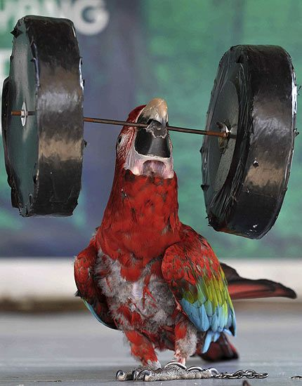Strong Parrot picture