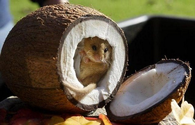 Mouse In Coconut picture