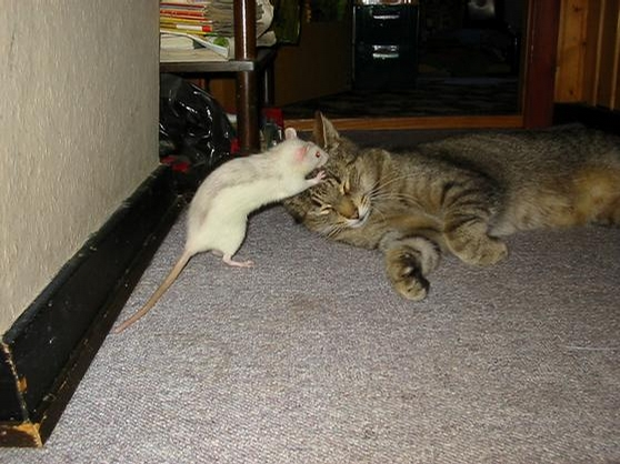 Brave Rat picture