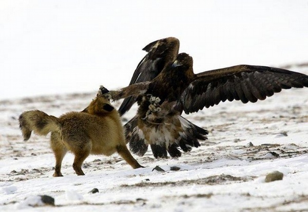 Animal Fight picture