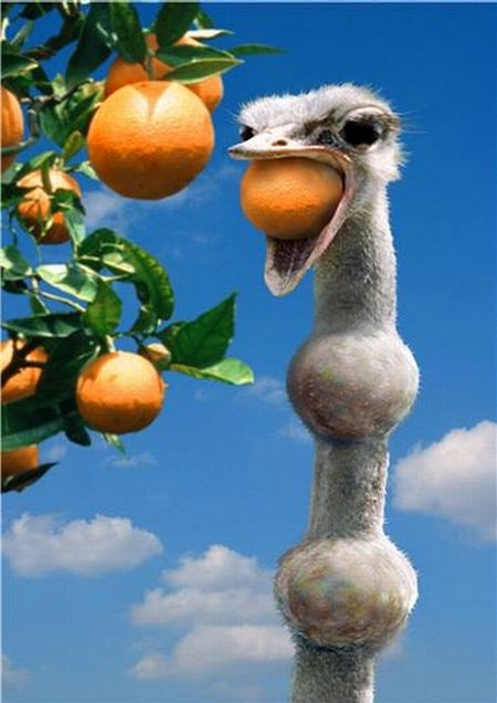 Hungry Ostrich picture