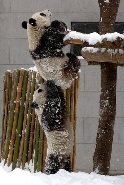 Clever Pandas picture