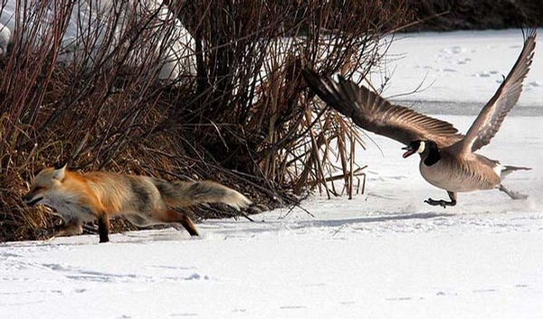 Duck vs Fox picture