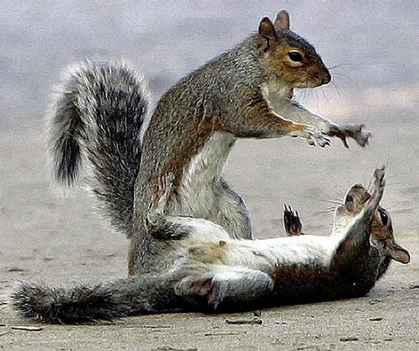 Squirrel Fight picture