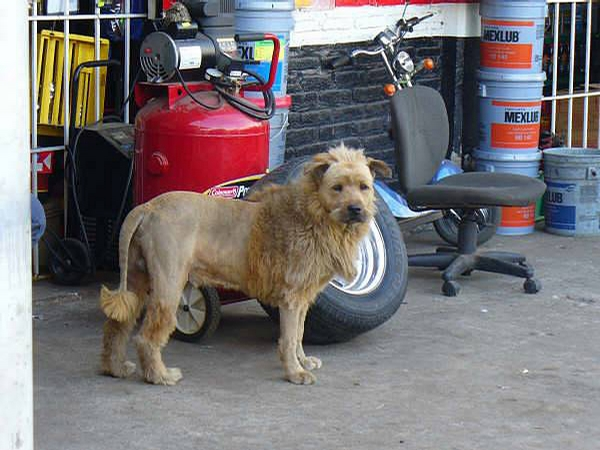 Lion Dog picture