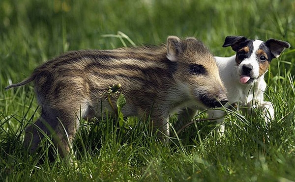 Dog and Pig picture