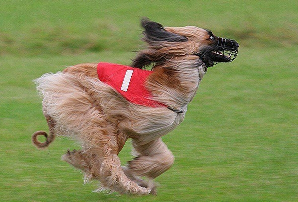 Running Dog picture