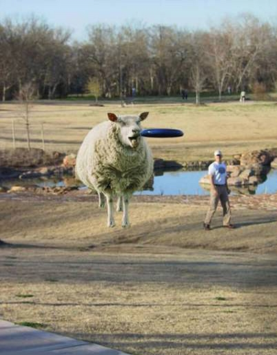Sheep Frisbee picture