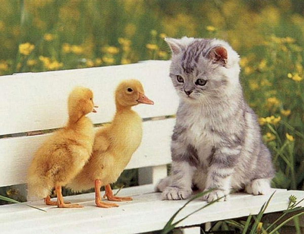 Pussy and Ducklings picture