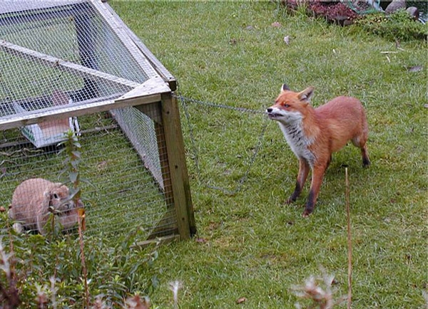 Hungry Fox picture