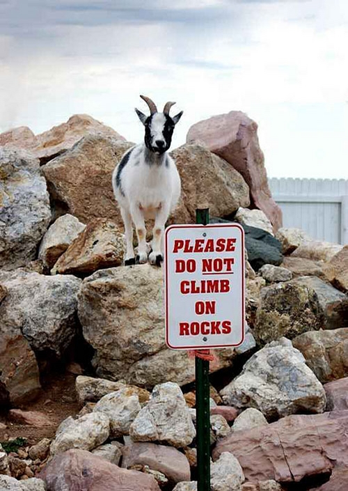 Disobedient Goat picture