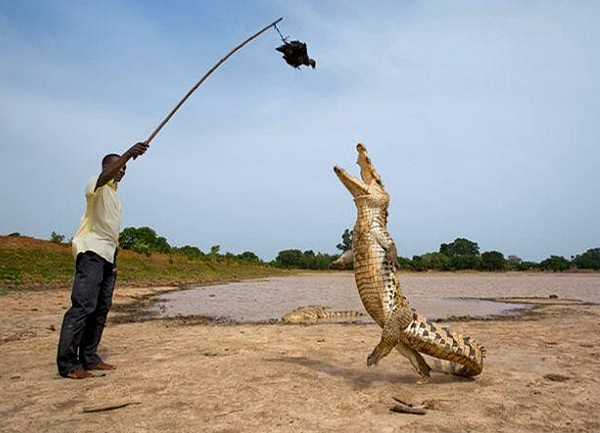 Crocodile Feeding picture