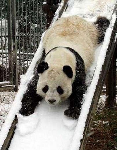 Playful Panda picture