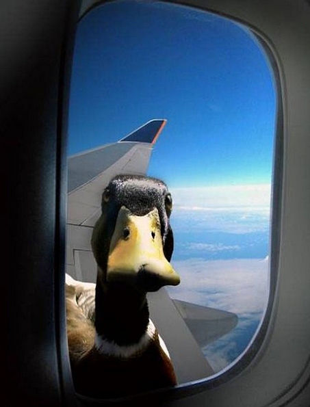 Curious Duck picture