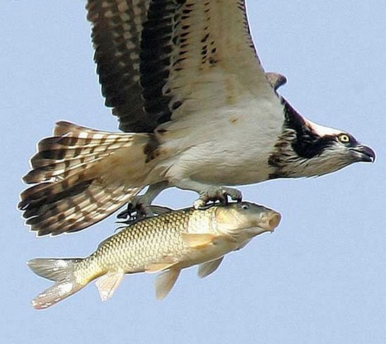 Eagle Loves Fish picture