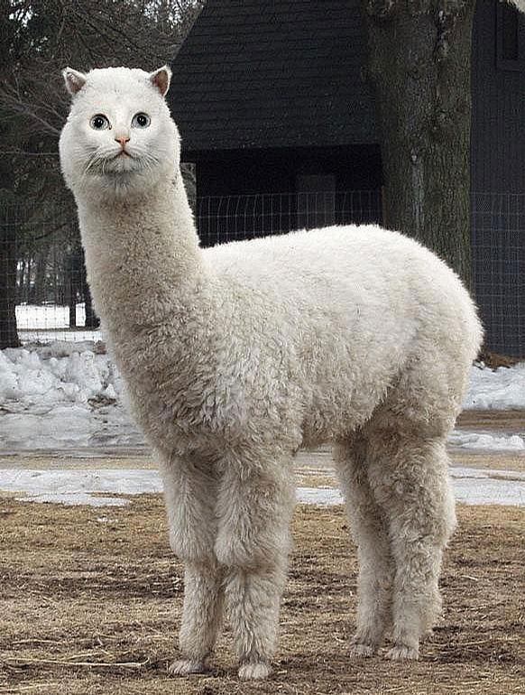 Llama Cat picture