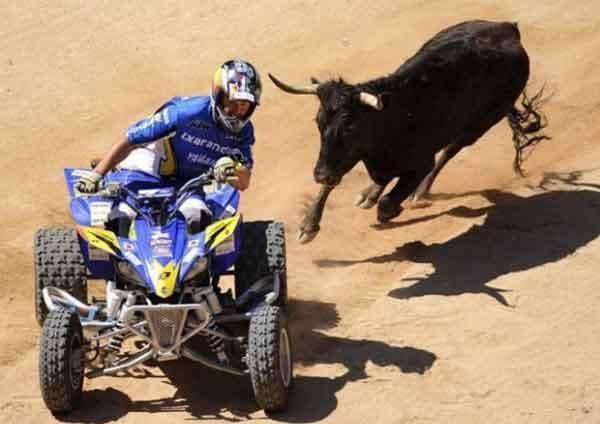 Bull vs 4WD picture