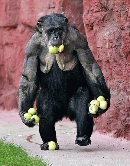 Monkey Loves Apples picture