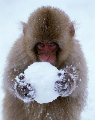 Monkey With Snowball picture