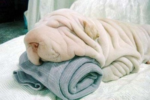 Wrinkled Dog picture