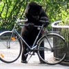 this curious bear wants to steal a bike