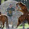 he is teasing three wild tigers