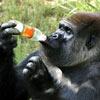 a monkey loves taste of its orange soda