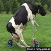 Funny pic's Milka looking for the best place to graze