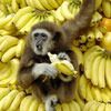 happy gibbon eating on the banana mountain
