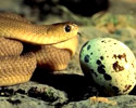 Snake Eating Egg