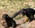 cheeky monkey pushes its little sister into water