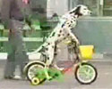 this dog loves to ride his bike